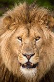 Fotografia faccia di leoni maschi