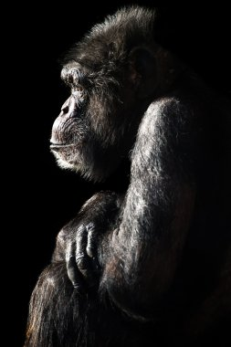 Chimpanzee Light and Shadow