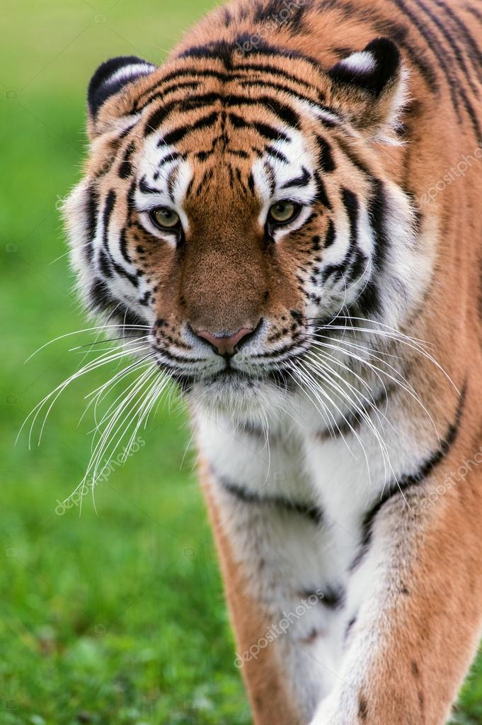 Female Amur Tiger walking toward viewer