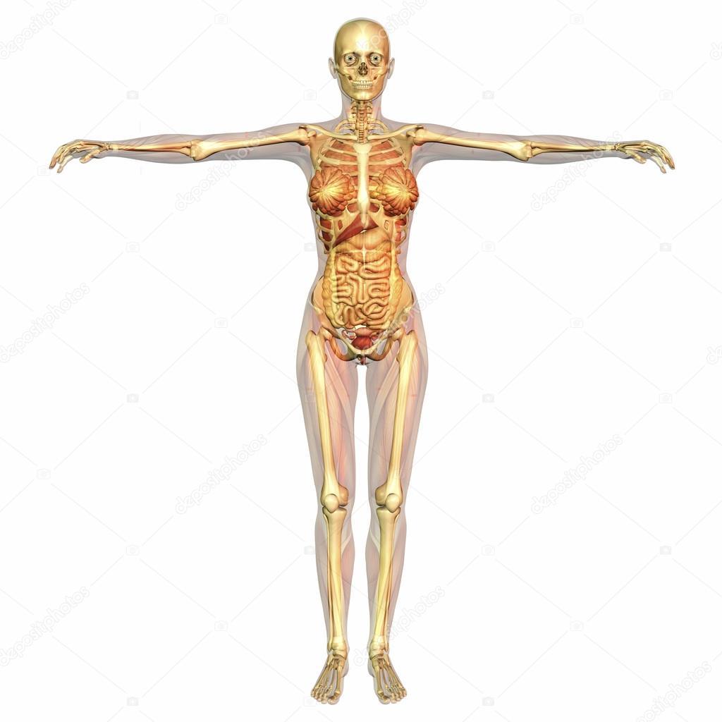 anatomía humana — Fotos de Stock © 3quarks #51098571