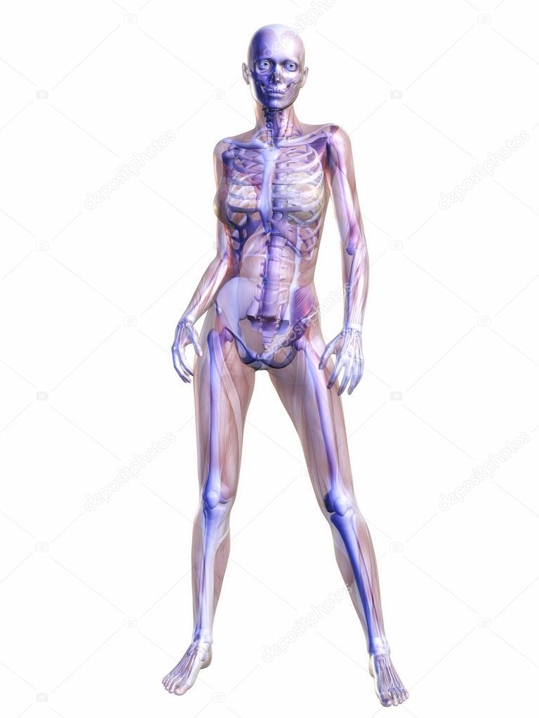 menschliche Anatomie — Stockfoto © 3quarks #51099577