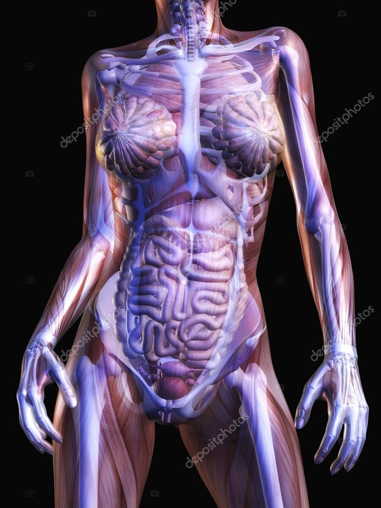 menschliche Anatomie — Stockfoto © 3quarks #51099809