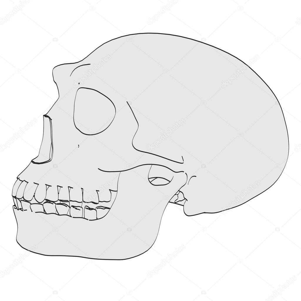 Caricatura de cráneo de homo erectus — Fotos de Stock © 3drenderings ...