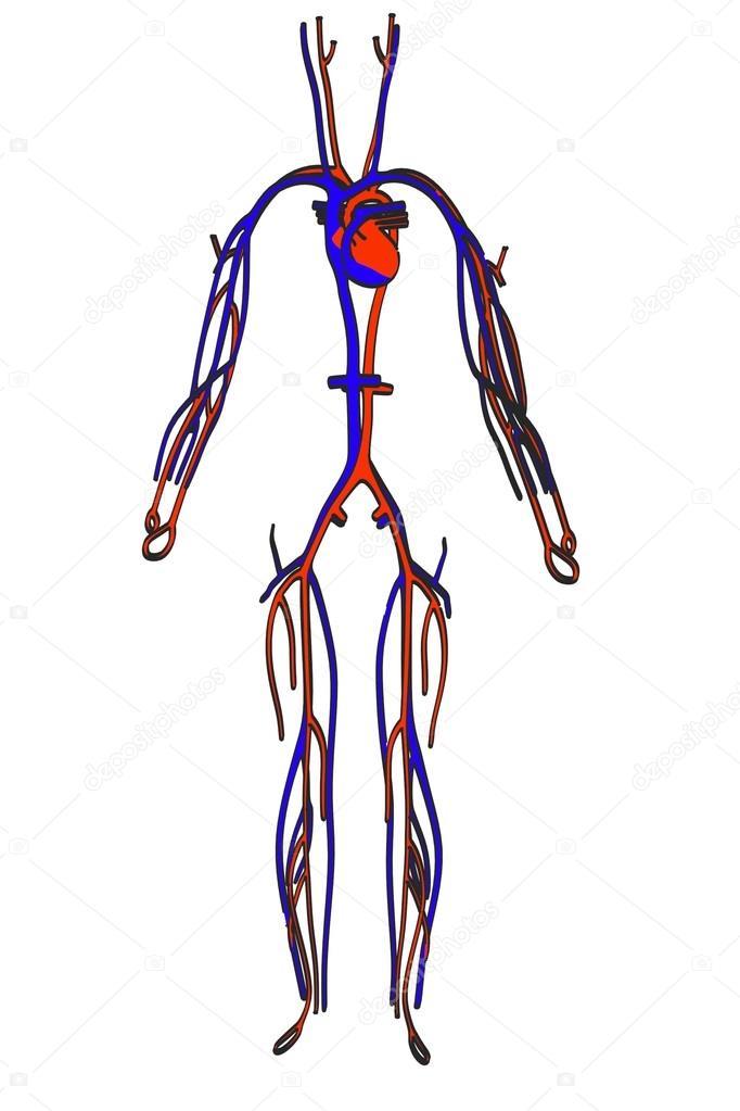 Immagine cartone animato del sistema circolatorio — foto