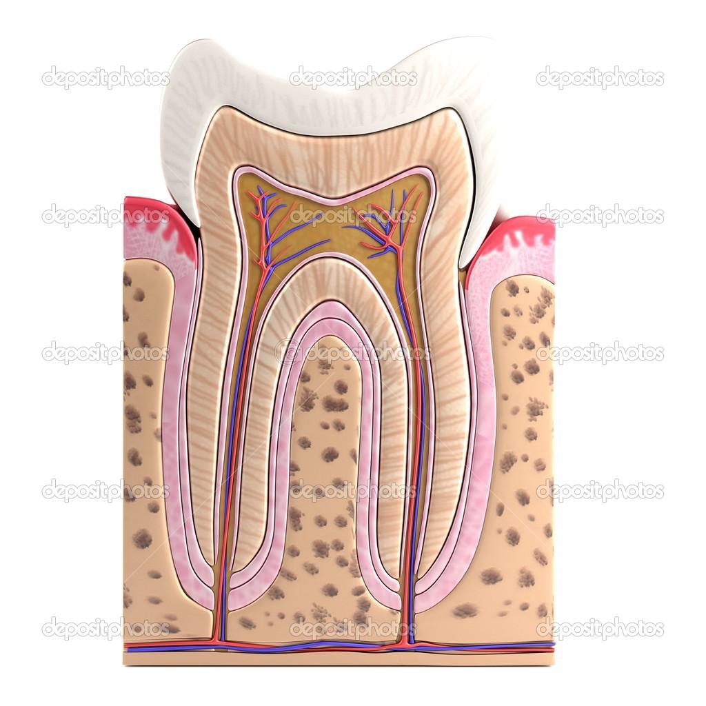 Realistic 3d render of tooth anatomy — Stock Photo © 3drenderings ...
