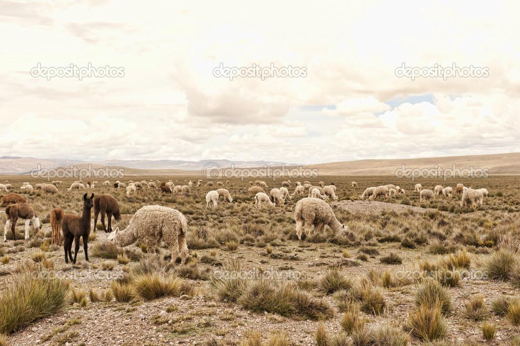 Pack of llamas and alpacas