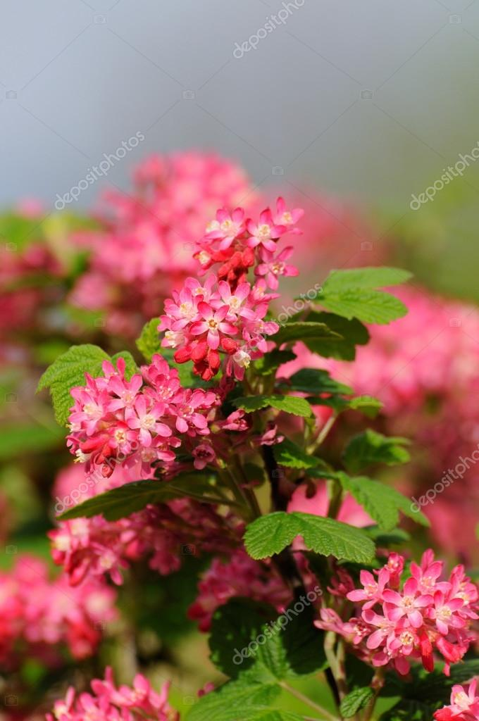 Tree branch with small pink flowers in fulda hessen germany tree branch with small pink flowers in fulda hessen germany stock photo mightylinksfo
