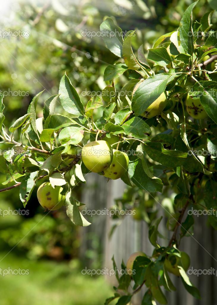Яблоня с яблоками — Стоковое фото © Anjela30 #29841599