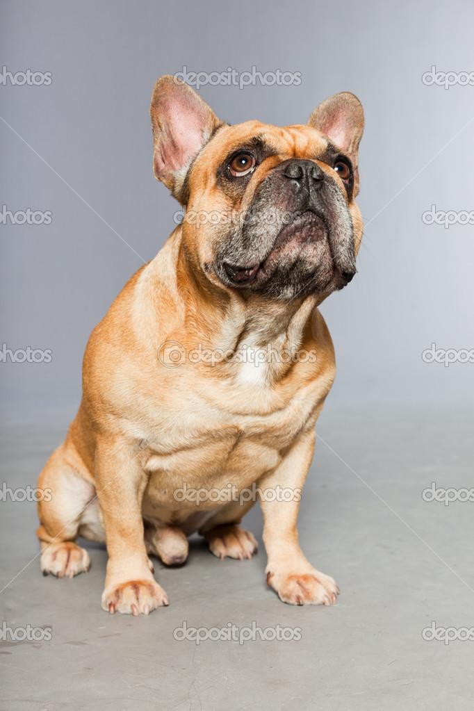 Bulldog Francés Marrón Perro Gracioso Foto De Stock Ysbrand