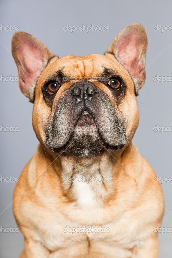 Fotos Graciosas Bulldog Frances Bulldog Francés Marrón Perro