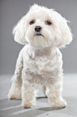 Cute white young maltese dog. Studio shot.