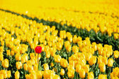 Fotografie Yellow tulips and one red standing out of the crowd.