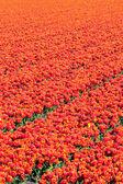 Fotografia Campo di tulipani rossi. sfondo astratto