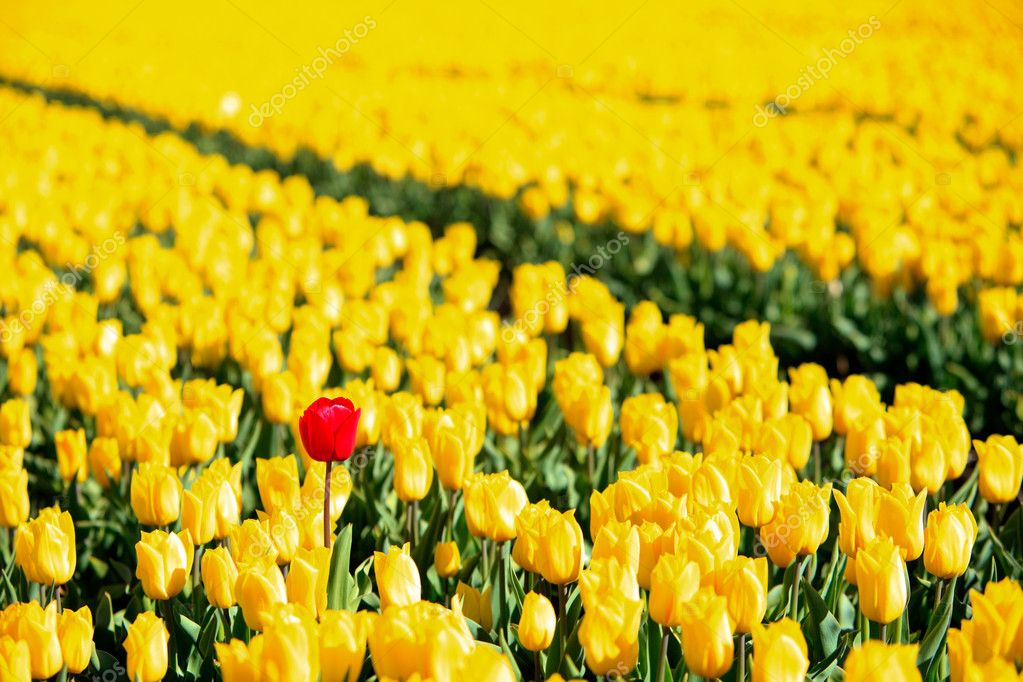 Yellow tulips and one red standing out of the crowd.