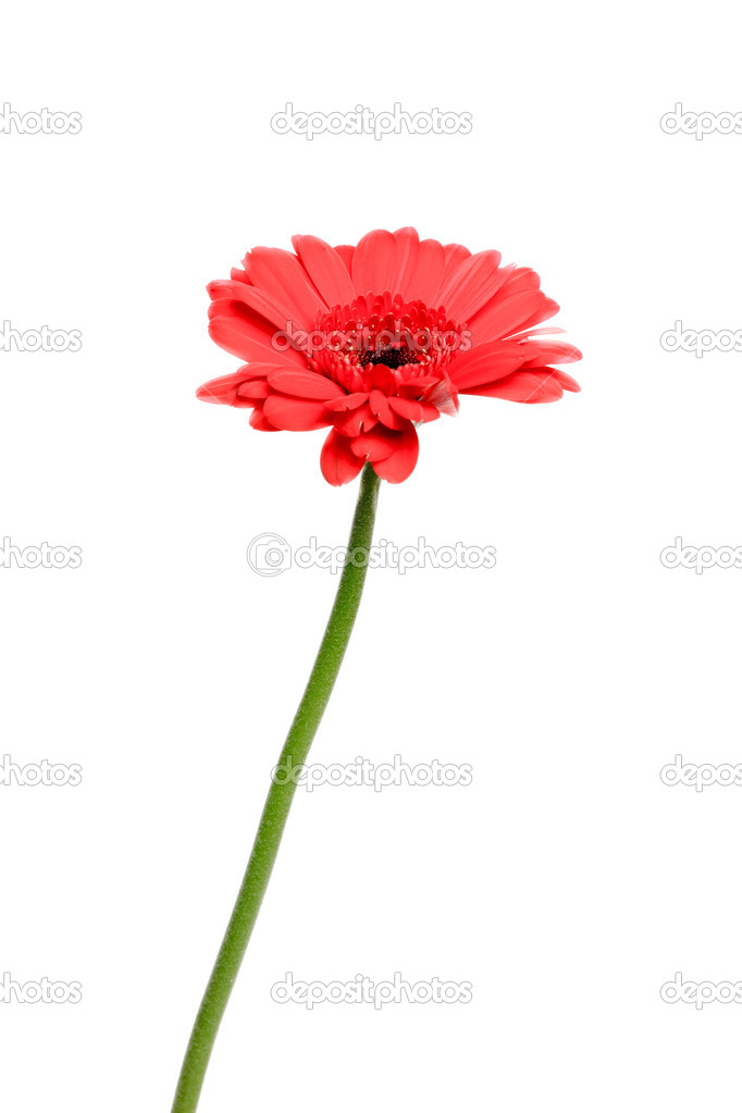 Fleur Unique Gerber Rouge Isole Sur Fond Blanc Photographie