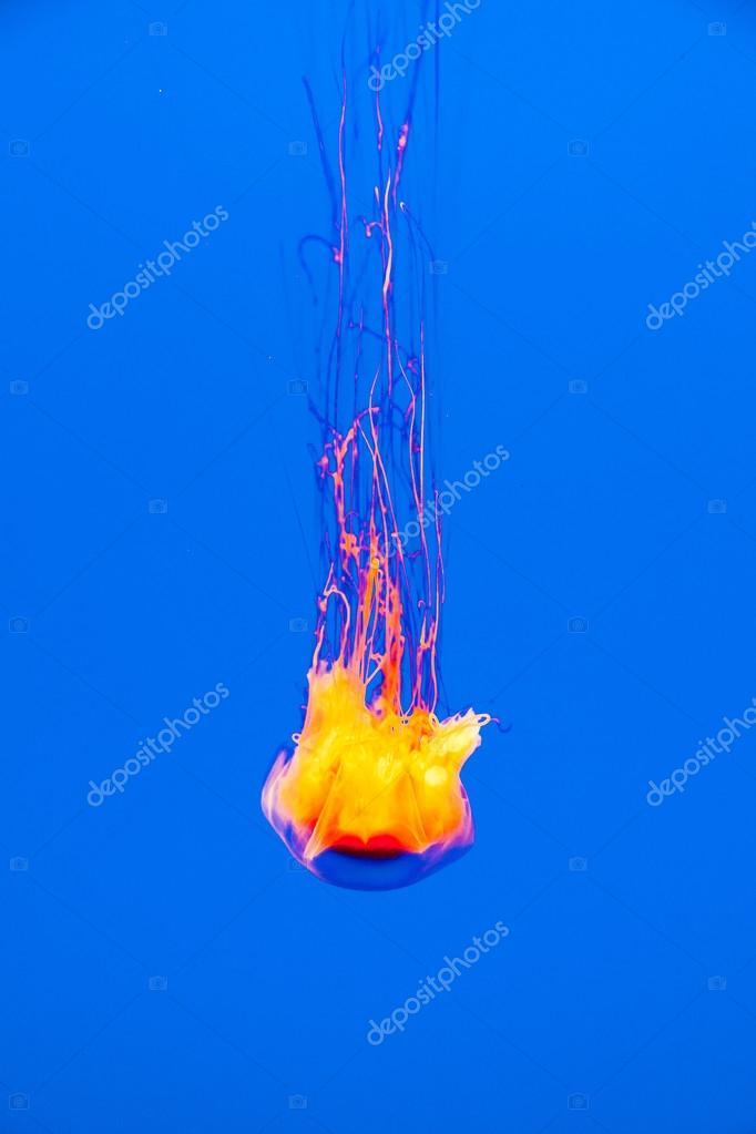 schöne Qualle im Aquarium. Hintergrundbeleuchtung mit Blaulicht ...