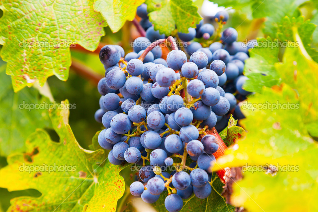 Close-up of red grapes in vineyard. Napa Valley. California. USA