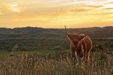 Scottish highlander cow standing in field of grass in dune lands