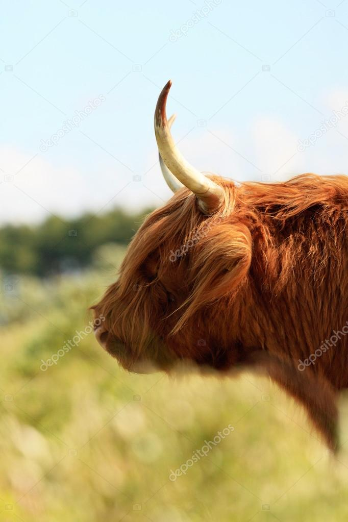 Close-up of head of scottish higlander cow with fur moving in th