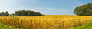Panoramic landscape of gold wheat field with blue sky. Zuid Limb