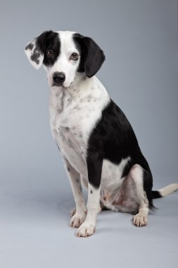 Mixed breed black and white spotted dog isolated against grey ba