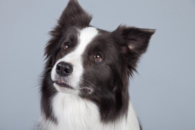 Beautiful border collie dog isolated against grey background. St