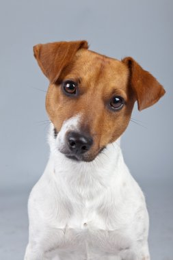Jack russell terrier dog white with brown spots isolated against