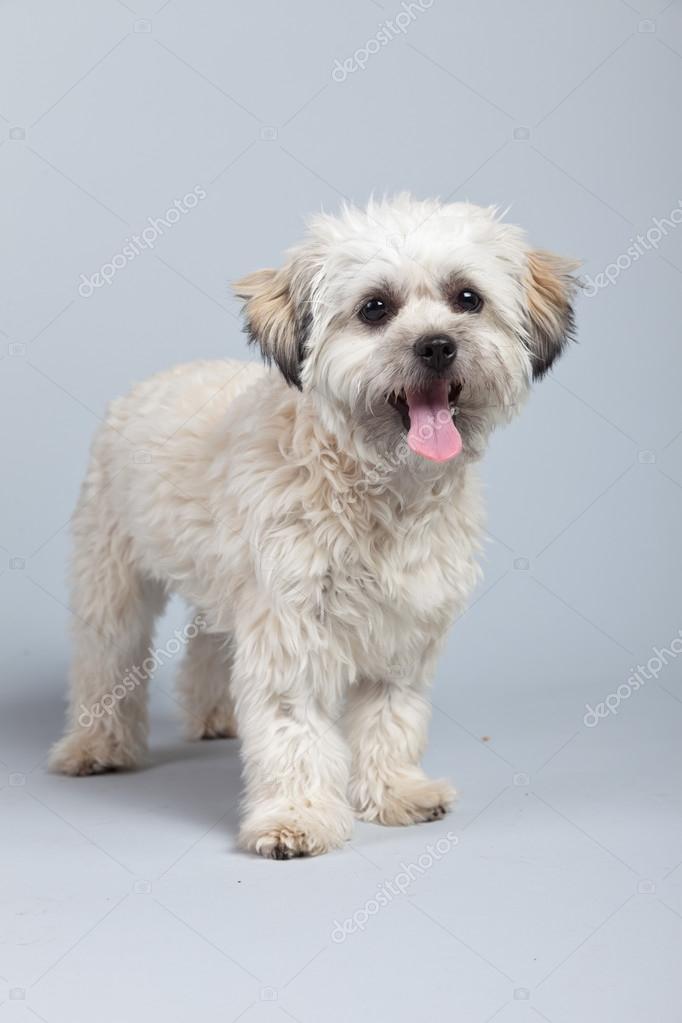 chien boomer blanc isolé sur fond gris. studio portra — photographie