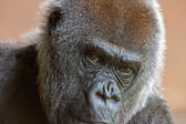 Photo Close-up of the head of a western lowland gorilla in the zoo.
