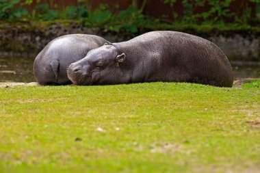 Two lazy pygmy Hippopotamus lying resting on grass in zoo.