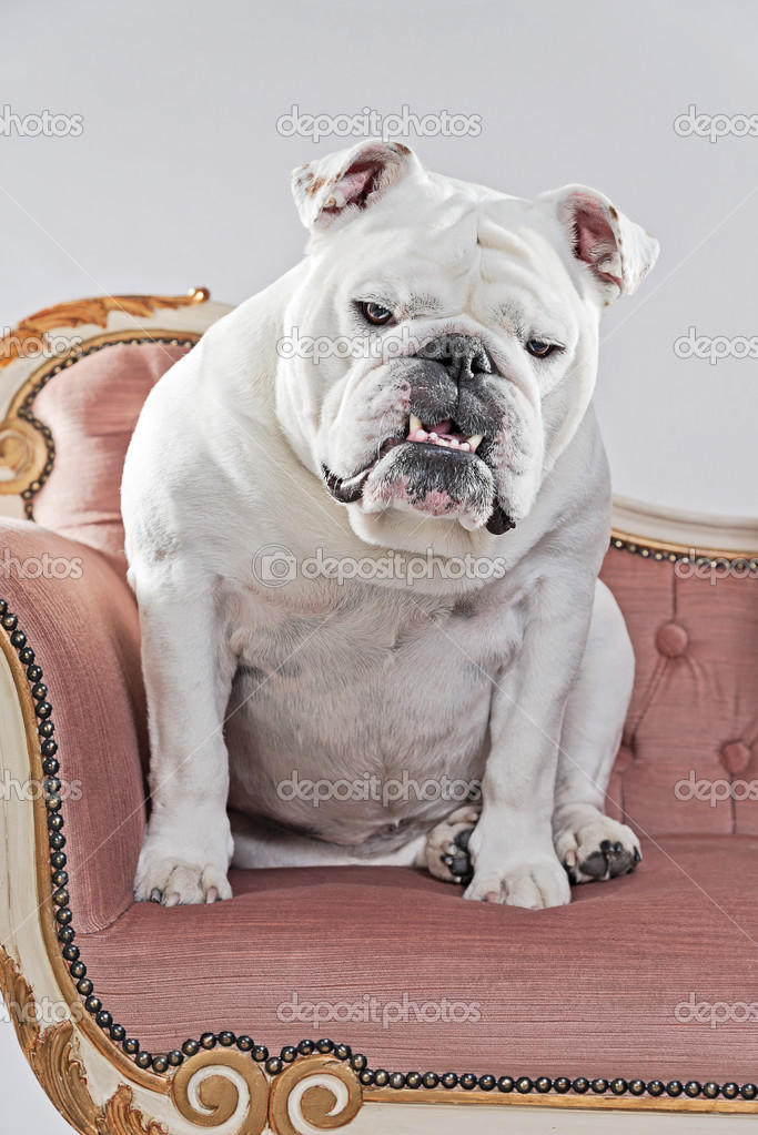 Branco Bulldog Inglês Sentado No Sofá Vintage Estúdio Tiro