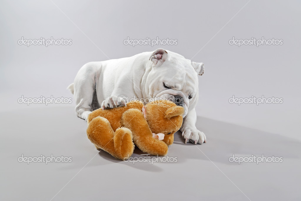 blanc bulldog anglais jouant avec ours en peluche studio. Black Bedroom Furniture Sets. Home Design Ideas
