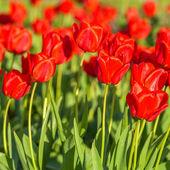 a bokeh piros tulipán