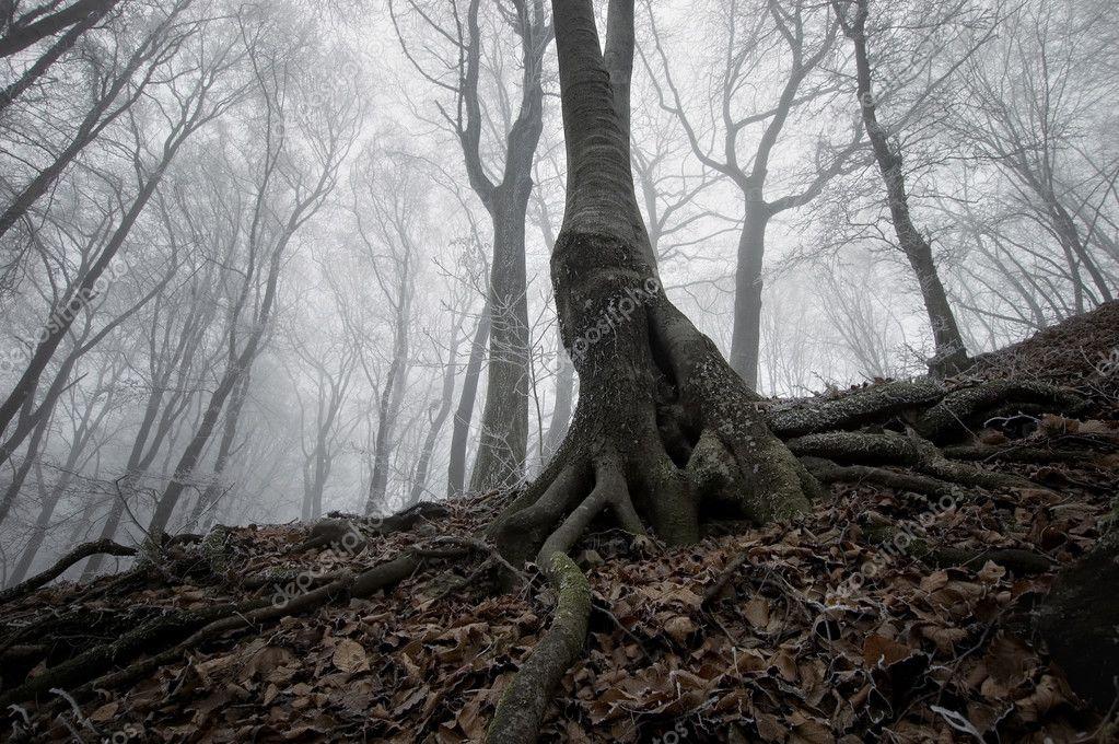 Дерево с корнями в таинственный жуткий лес туманом осенью ...
