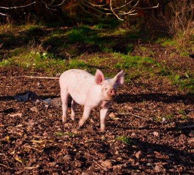 pig feeding searching acorns among yellow leaves