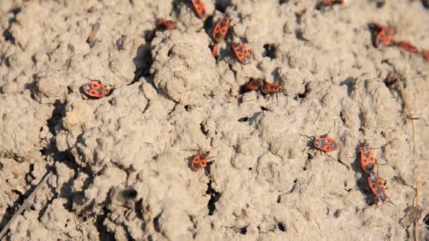 rossi e neri scarabei a terra