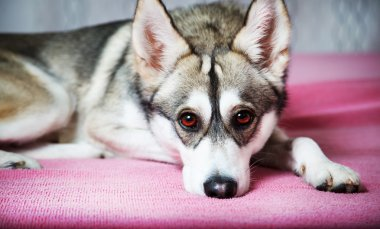 Siberian Husky chilling at home
