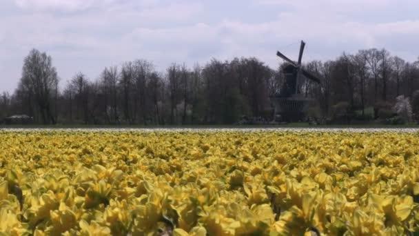 Sárga nárcisz és szélmalom