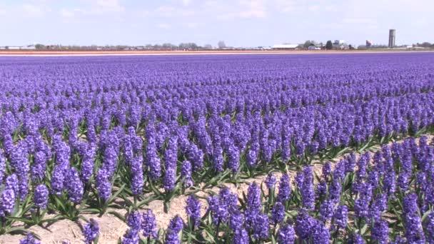 fialový hyacinty