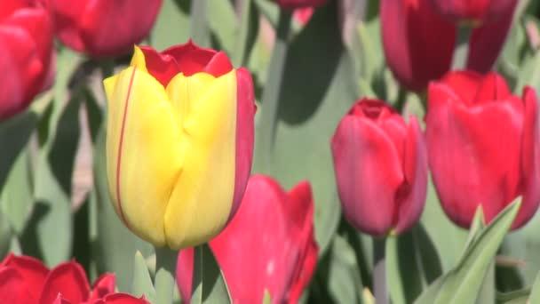 jeden barevný Tulipán žluto červená