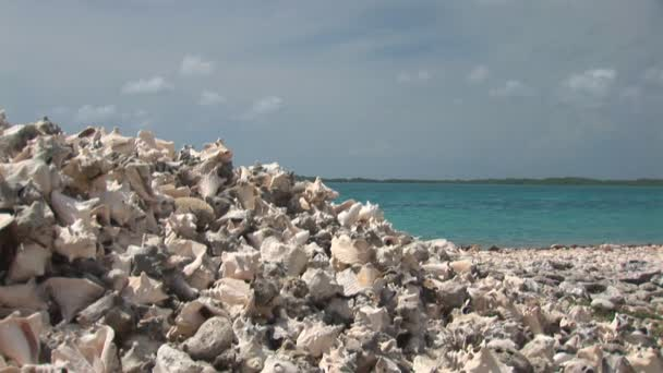 Conch sea shells on Bonaire, Netherlands Antilles