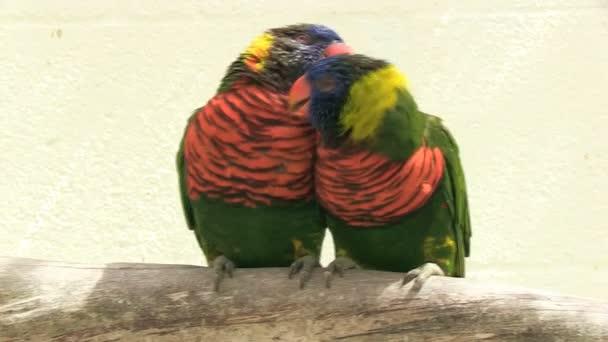 dva papoušci, mazlení