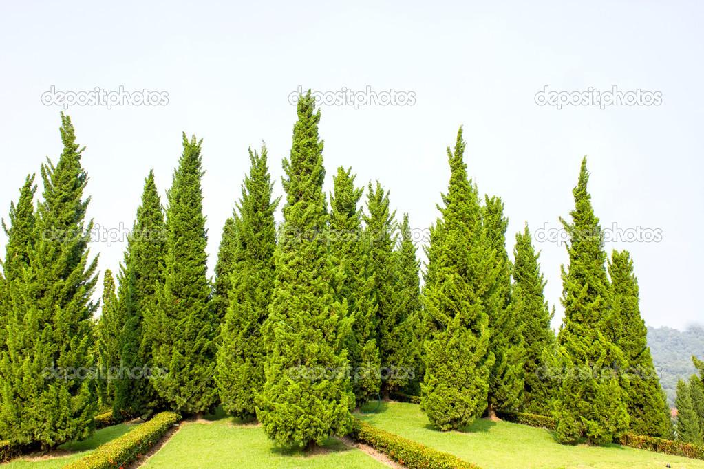 Pine Tree Garden With Blue Sky U2014 Stock Photo #34956769