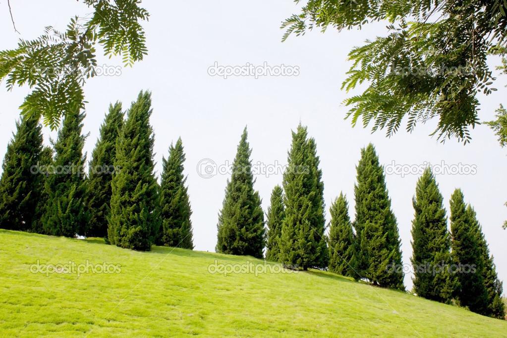 High Quality Pine Tree Garden With Blue Sky U2014 Stock Photo #35020957