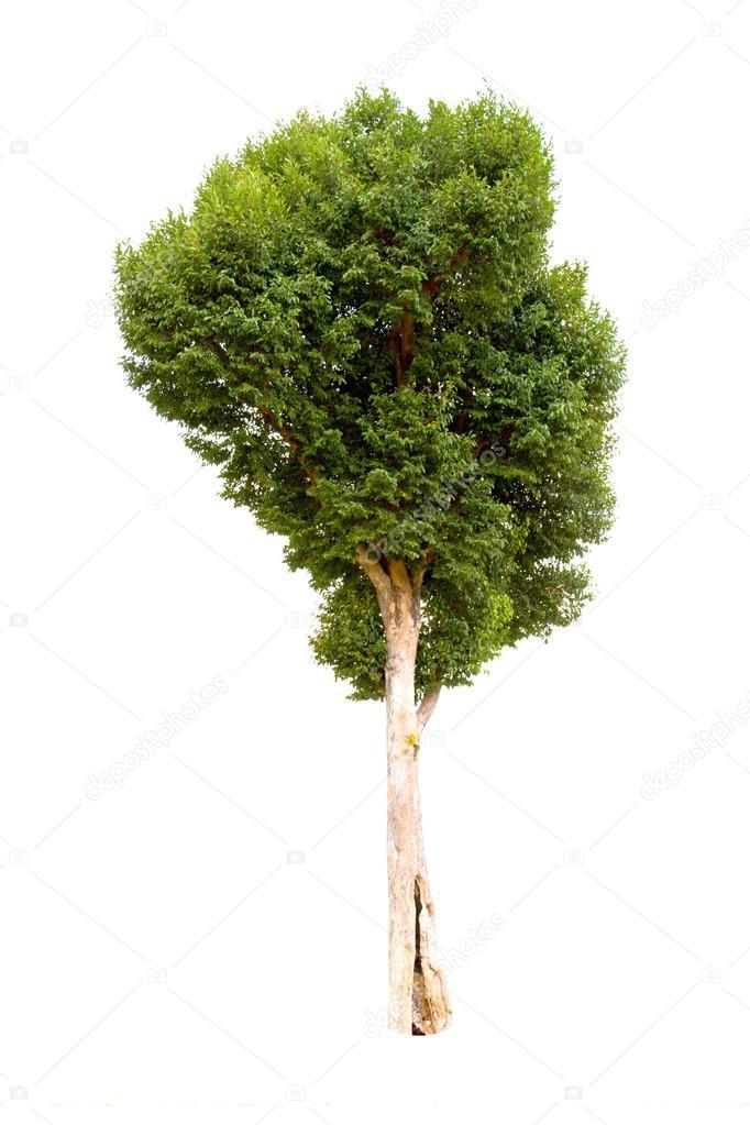 Irvingia malayana arbre, mur macrocarpa lagerstroemia ou kayu ...
