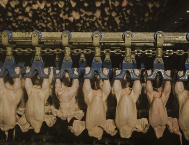 Production of white meat