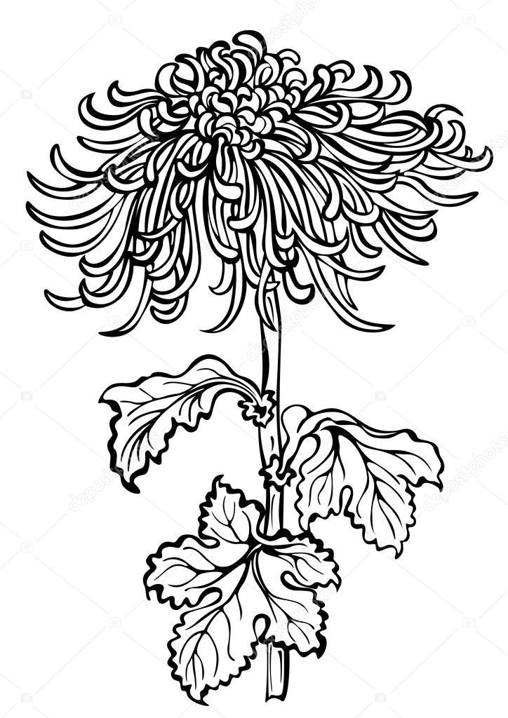 flor del crisantemo japonés sobre fondo blanco — Archivo Imágenes ...