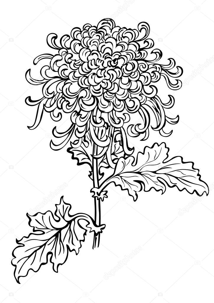 Fleur De Chrysantheme Japonais Image Vectorielle Nairine C 24519349