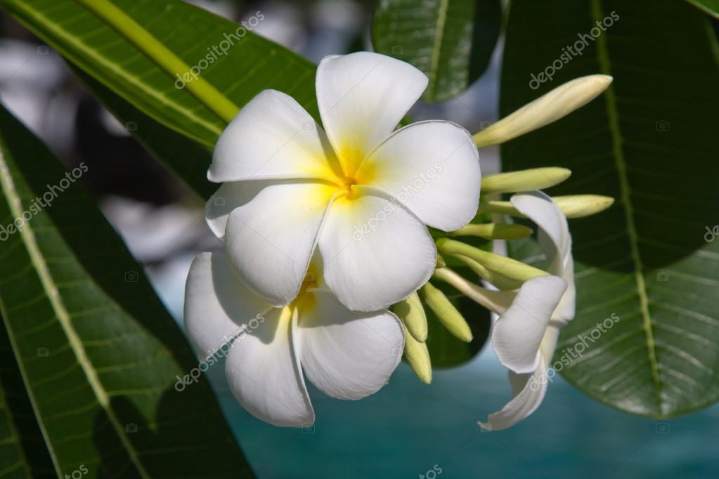White Frangipani flower (plumeria)