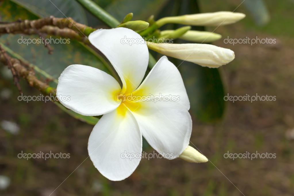 weiße Frangipani Blüten — Stockfoto © rutchapong #42857531